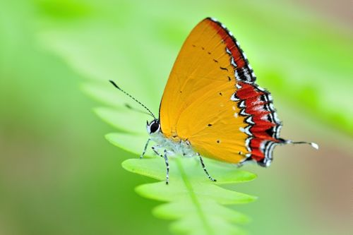 Himalayan,Purple,Shapphire,(Heliophorus,epicles,latilimbata).,Nepal,is,home,to,more,than,600,butterfly,species.,I,have,captured,nearly,150,butterfly,species,of,Nepal.
