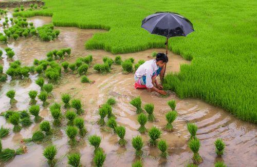 woman,farmer,gather,paddy,seedling,fields,terai,nepal