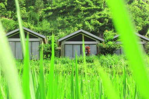 green,rice,field,houses