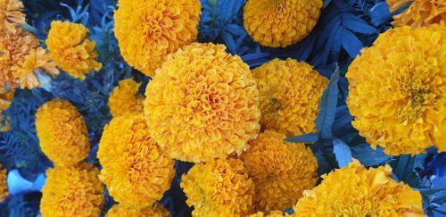 flower,blossom,tihar