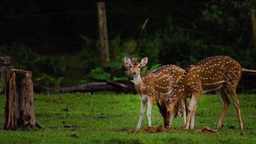 spotted,deer,eating,snacks
