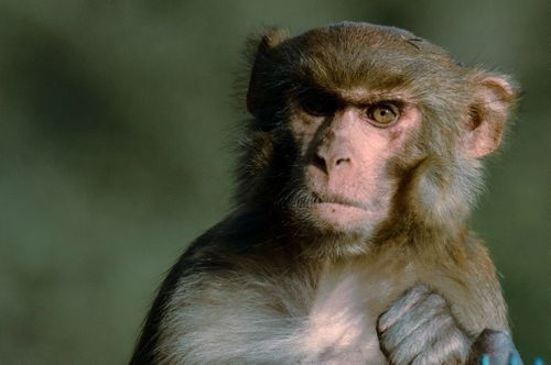 monkey,posing,camera