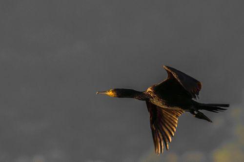 cormorant,flying,taudaha