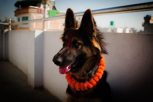 kukur,tihar-festival,dogs