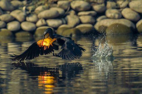 breakfast,beautiful,cormorant