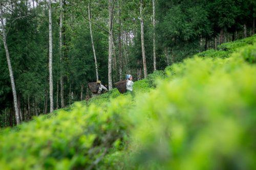 women,picking,unprocessed,tea,garden