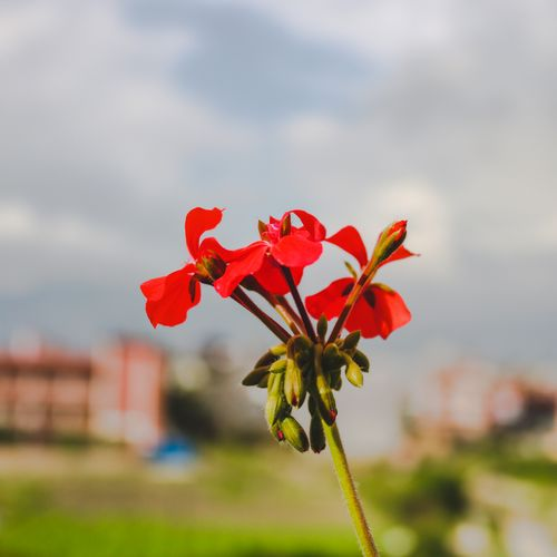 beautiful,red,flower