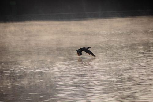 bird,flies,touching,surface,taudaha,lake,morning,cold,december