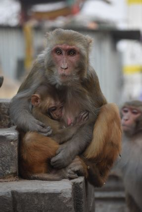 purest,thingh,earth,mothers,love,mother,monkey,breastfedding,baby,swayambhunath,temple