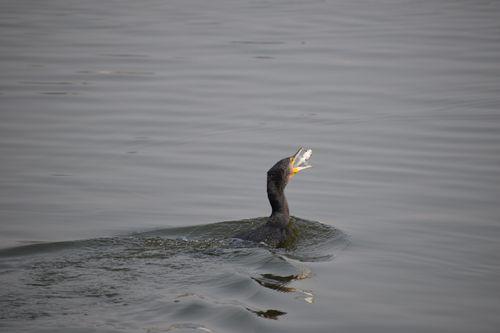 great,cormorant,prey