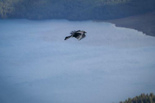 crow,flying,lake
