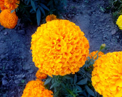 marigold,sayapatri,flower,garden,kathmandu,nepal