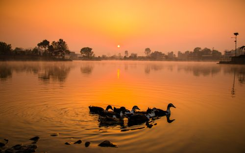 sunrise,playing,duck,photo,taudah,lake,kathmandu,nepal