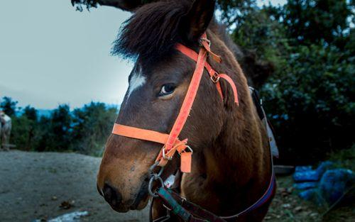 wildlife,horse,photo,chandragiri,kathmandu,nepal