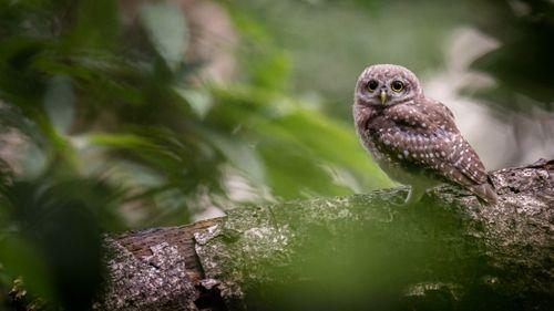 female,spotted,owlet,natural,habitat