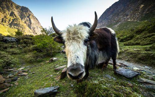 himalayan,wildlife,yak,chekampar,gorkha,nepal