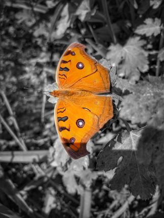 butterflies,adult,flying,stage,insects,belonging,order,group,called,lepidoptera