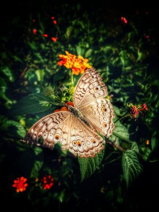 butterflies,insects,order,lepidoptera,adult,large,bright,wingsthey,typical,four-stage,insect,life,cycle,winged,adults,lay,eggs,food,plant,larvae,caterpillars,feed,grow,rapidly,fully,developed,pupate,chrysalis,metamorphosis,complete,pupal,skin,splits,climbs,wings,expanded,dried,flies