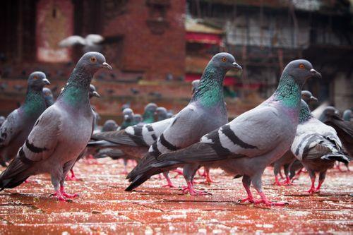 group,pigeon,basantapur
