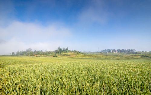 beautiful,paddy,farm,khokana,lalitpur,nepal