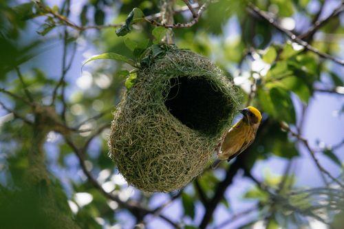 baya,weaver,bird,building,nest