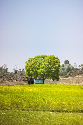 golden,mustard,field,khokana,lalitpur
