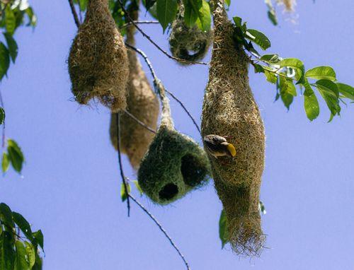 baya,weaver,ploceus,philippinus,weaverbird,found,indian,subcontinent,southeast,asia
