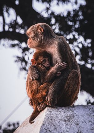 low,angled,shot,mother,monkey,feeding,milk,young