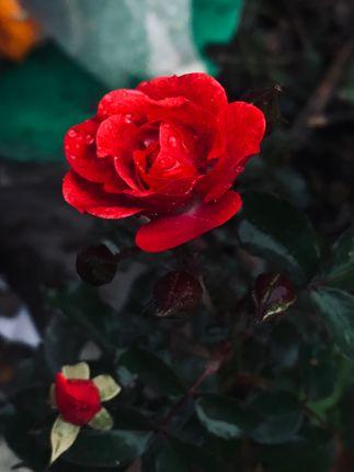 love,duo,admires,rose,rain