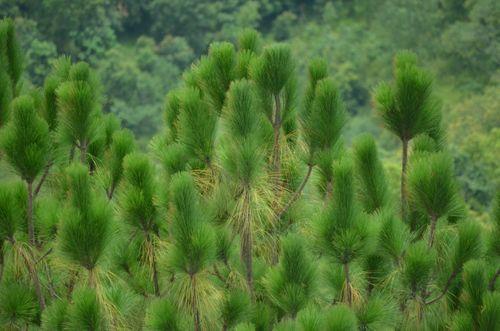 pine,trees,located,palpa,scenic,view,nepal