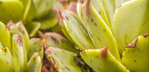 year's,visit,darjeeling,interesting,plant,found,called,succulent,specie
