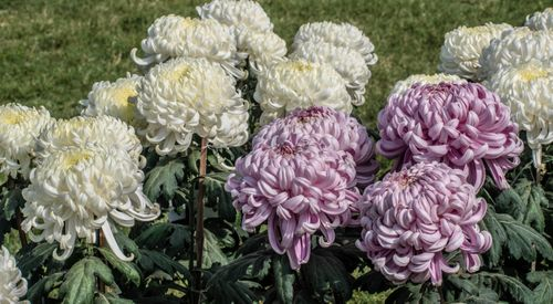 chrysanthemum,plant,daisy,family,brightly,coloured,ornamental,flowers,existing,cultivated,varieties
