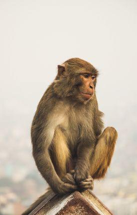 monkey,sitting,enjoying
