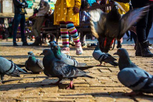 group,pigeons,foraging,food,boudhanath