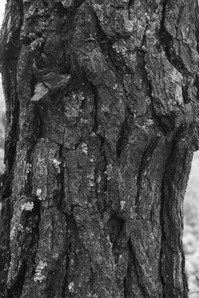 bark,tree,nepal