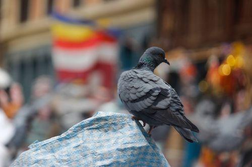 pigeon,streets,kathmandu,nepal