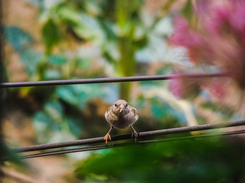 shot,house,sparrow,sitting,cable,line,food,mouth