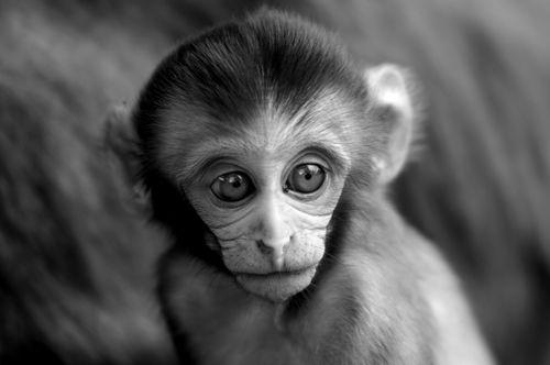 portrait,baby,monkey