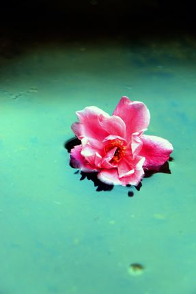 pink,rose,reflection#,sms,photography