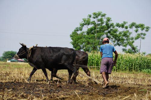 nepali,farmer,ploughing,field,chitwan,nepal