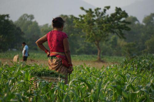 nepali,woman,working,farmland,chitwan,nepal