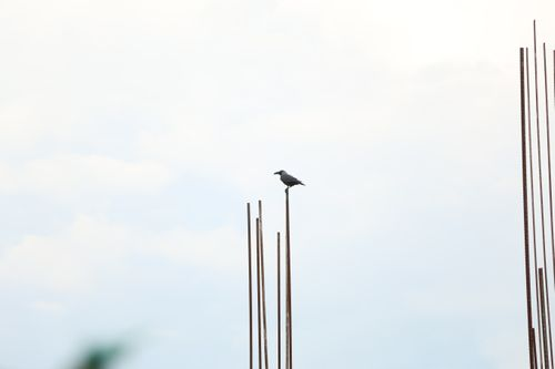 lonely,crow,white,background