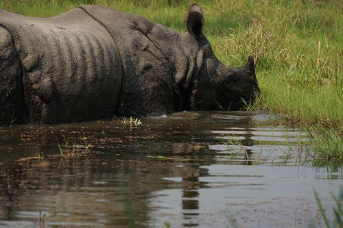 endangered,horned,rhinoceros,chitwan,national,park,nepal