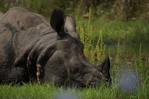 endangered,horned,rhinoceros,chitwan,national,park