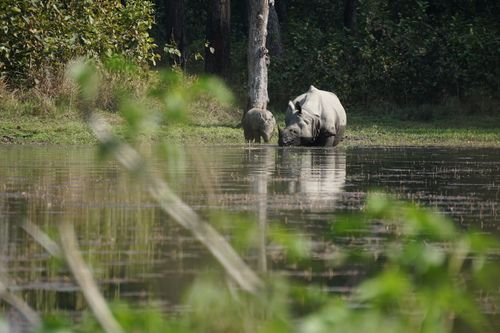 endangered,horned,rhinoceros,chitwan,national,park,nepal