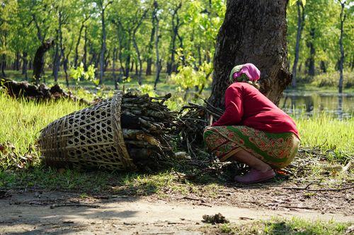nepali,woman,collecting,firewood,chitwan,nepal