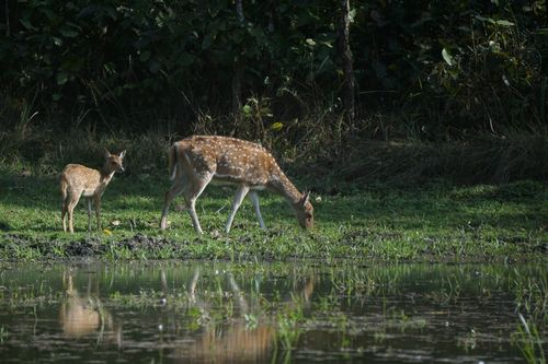 spotted,deer,found,chitwan,national,park