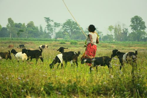 woman,taking,care,goats