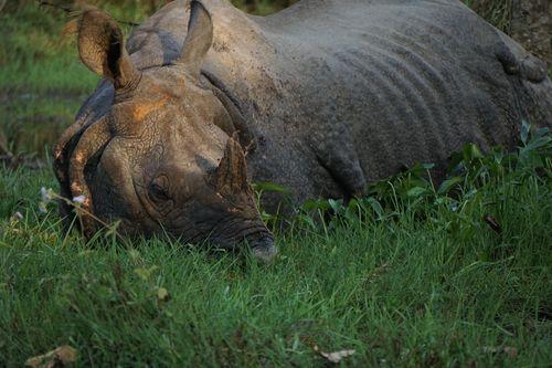 endangered,horned,rhinoceros,chitwan,national,park