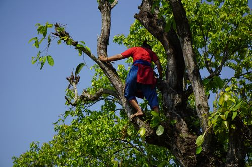 local,woman,climbing,tree,collecting,food,cattle